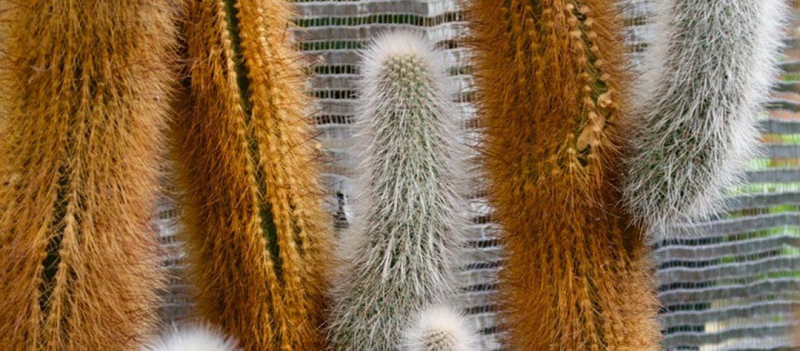 Cleistocactus Strausii main